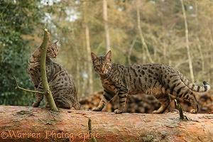 Bengal cats standing on a fallen tree