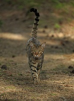 Bengal cat standing walking over pine needles