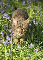 Bengal cat prowling through bluebells