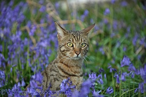 Bengal cat sitting among bluebells