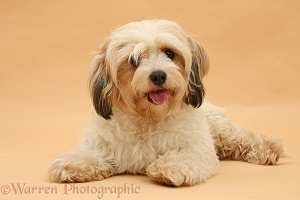 Cavachon bitch on beige background