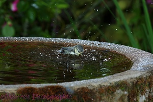 Blue Tit Bathing
