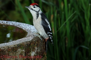 Great Spotted Woodpecker juvenile on birdbath