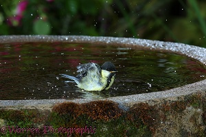 Great Tit bathing