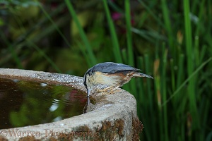 Nuthatch drinking from birdbath