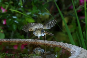 Robin taking off from birdbath