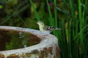 Siskin female drinking from birdbath