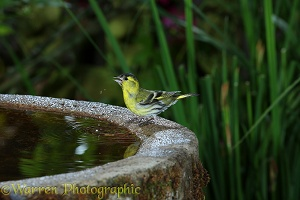 Siskin male drinking from birdbath