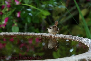 Wren drinking from birdbath