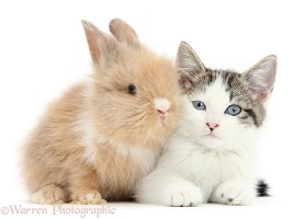 Blue-eyed tabby-and-white kitten and baby bunny