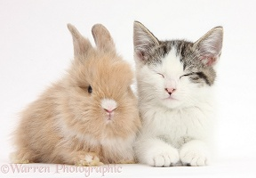 Tabby-and-white kitten and baby bunny