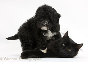 Black-and-white Cavapoo pup and black kitten
