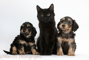 Black Maine Coon kitten and cute Daxiedoodle puppies
