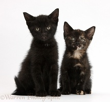 Black and black tortoiseshell kittens