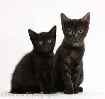 Black and smoke black kittens