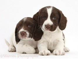 Working English Springer Spaniel puppies