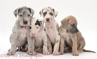Four Great Dane puppies sitting together