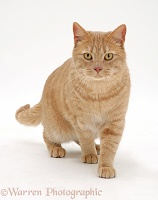 Cream spotted British shorthair cat