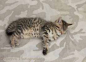 Sleepy cute tabby kitten on camouflage background