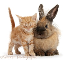 Sleepy ginger kitten and Lionhead-cross rabbit