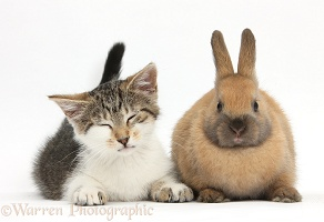 Sleepy tabby-and-white kitten with brown bunny