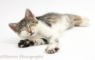 Sleepy tabby-and-white kitten lying stretched out