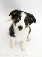 Odd-eyed Tricolour Border Collie pup, looking up