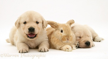 Baby sandy Lop rabbit with Golden Retriever pups