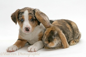 Border Collie puppy and rabbit
