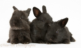 Three cute baby black bunnies