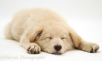 Sleeping white Alsatian pup