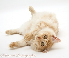 Red silver Turkish Angora cat lying on side