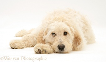 Labradoodle lying with chin on paw