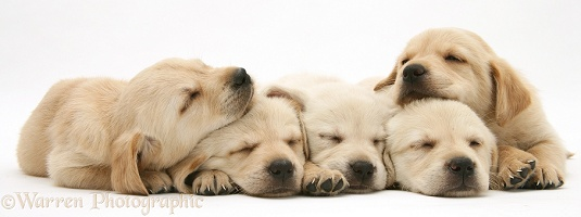 Five sleepy Retriever-cross pups