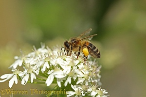Honey Bee worker on Hogweed