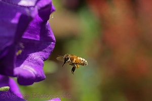 Honey Bee worker visiting Canterbury Bell