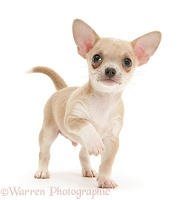 Smooth-haired Chihuahua pup standing with raised paw