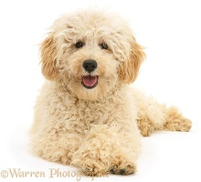 Cream Miniature Poodle with crossed paws