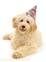 Cream Miniature Poodle wearing a birthday party hat