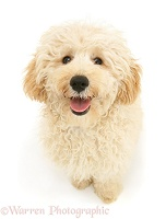 Cream Miniature Poodle