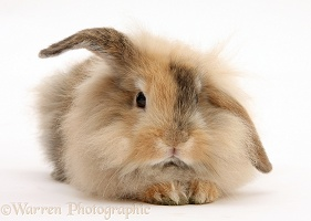 Fluffy brown bunny