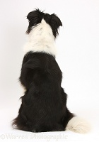 Black-and-white Border Collie back view