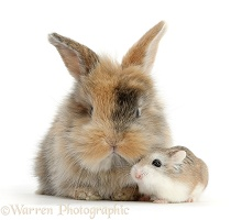 Cute baby bunny and Roborovski Hamster