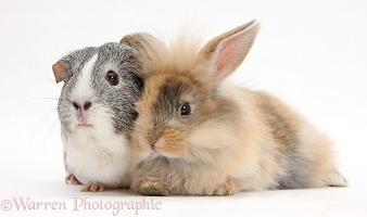 Fluffy brown bunny and Guinea pig