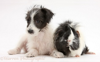Cute Jack-a-poo dog pup and Guinea pig