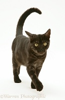 Black Smoke cat walking with tail erect