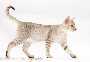 Ocicat kitten walking across