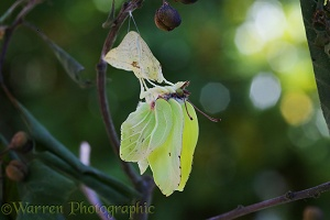 Brimstone Butterfly expanding wings after hatching from pupa