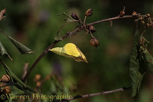 Brimstone Butterfly pupa about to hatch