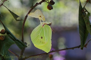 Brimstone Butterfly wings almost fully expanded after after hatching from pupa